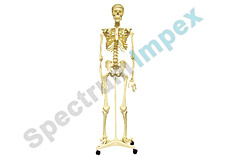 Deluxe Life size human skeleton with stand