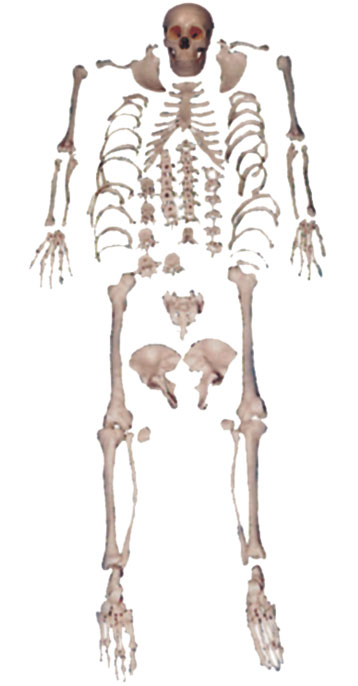 Disarticulated Skeleton Model