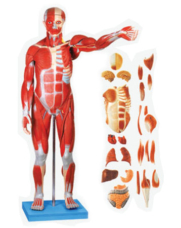 Full Size Human Body Showing Muscles And Organs