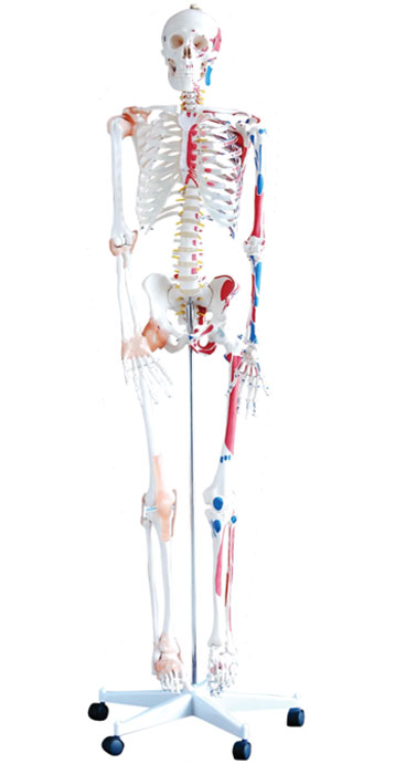 Life size Human Skeleton (180 cm) with Muscles And Ligaments on pelvic mounted stand