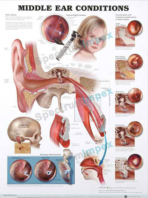 Surface anatomy of ear